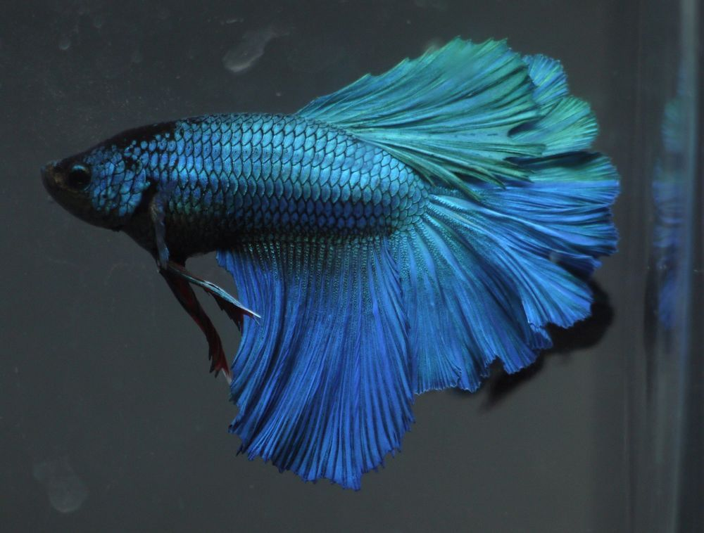 Betta Tropical Fish | Live Tropical Fish Big Size Turquoise Blue Green Rosetail Halfmoon