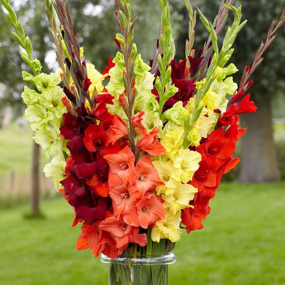 Gladiolus Sunset Mix Enjoy All The Colors Of Late Summer In This Exclusive Mix Of Wine Red Crimson Orange Yellow And Gladiolus Gladiolus Bulbs Bulb Flowers