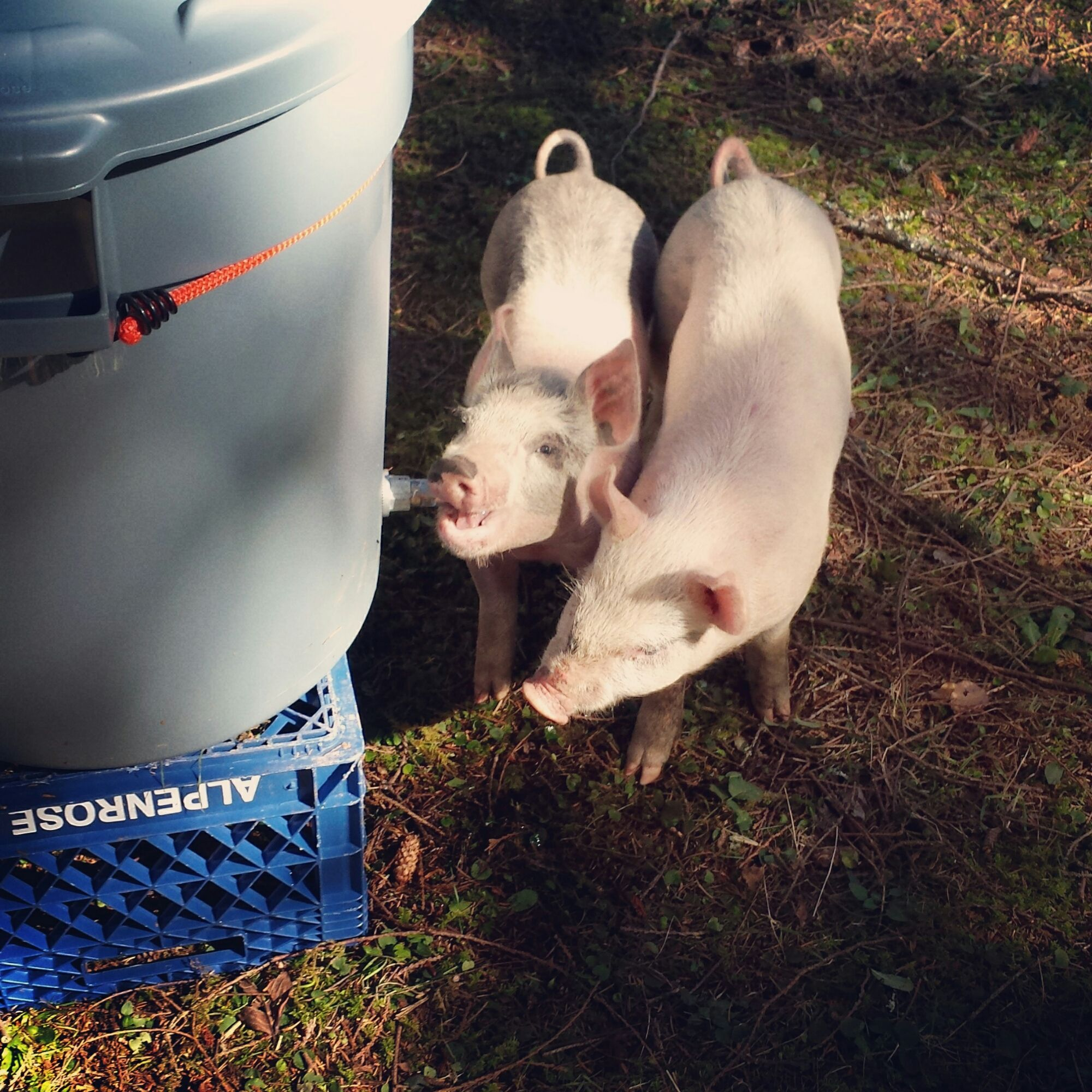 DIY pig waterer! Purchase a simple watering nipple from local feed store, drill a hole in a bucket of your choice and a few minutes later your little ...