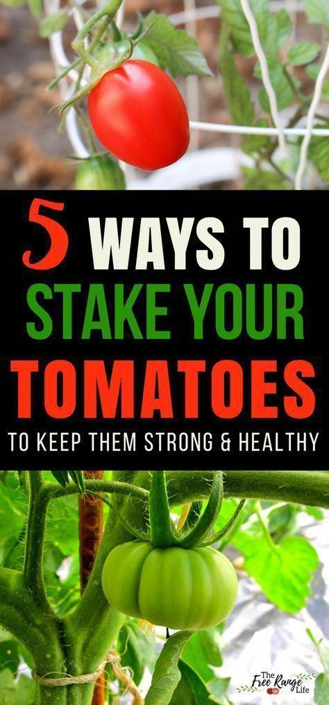 Gardening Tips How to stake tomatoes so that they stay off the ground and healthy  Growing Tomatoes  How to Grow Tomatoes  Organic Gardening Tips  Gardening for Beginners