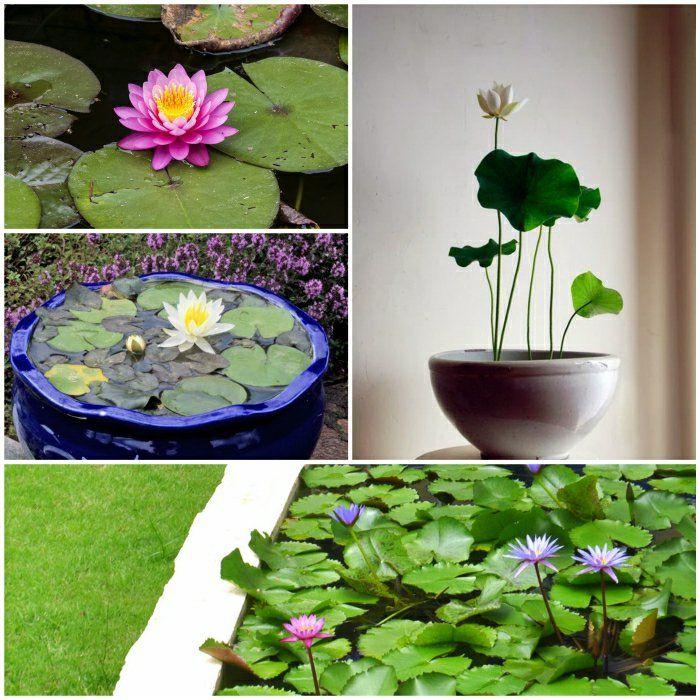 lotus blume pflanzenideen gartenpflanzen ideen lotuspflanze - gartenpflanzen