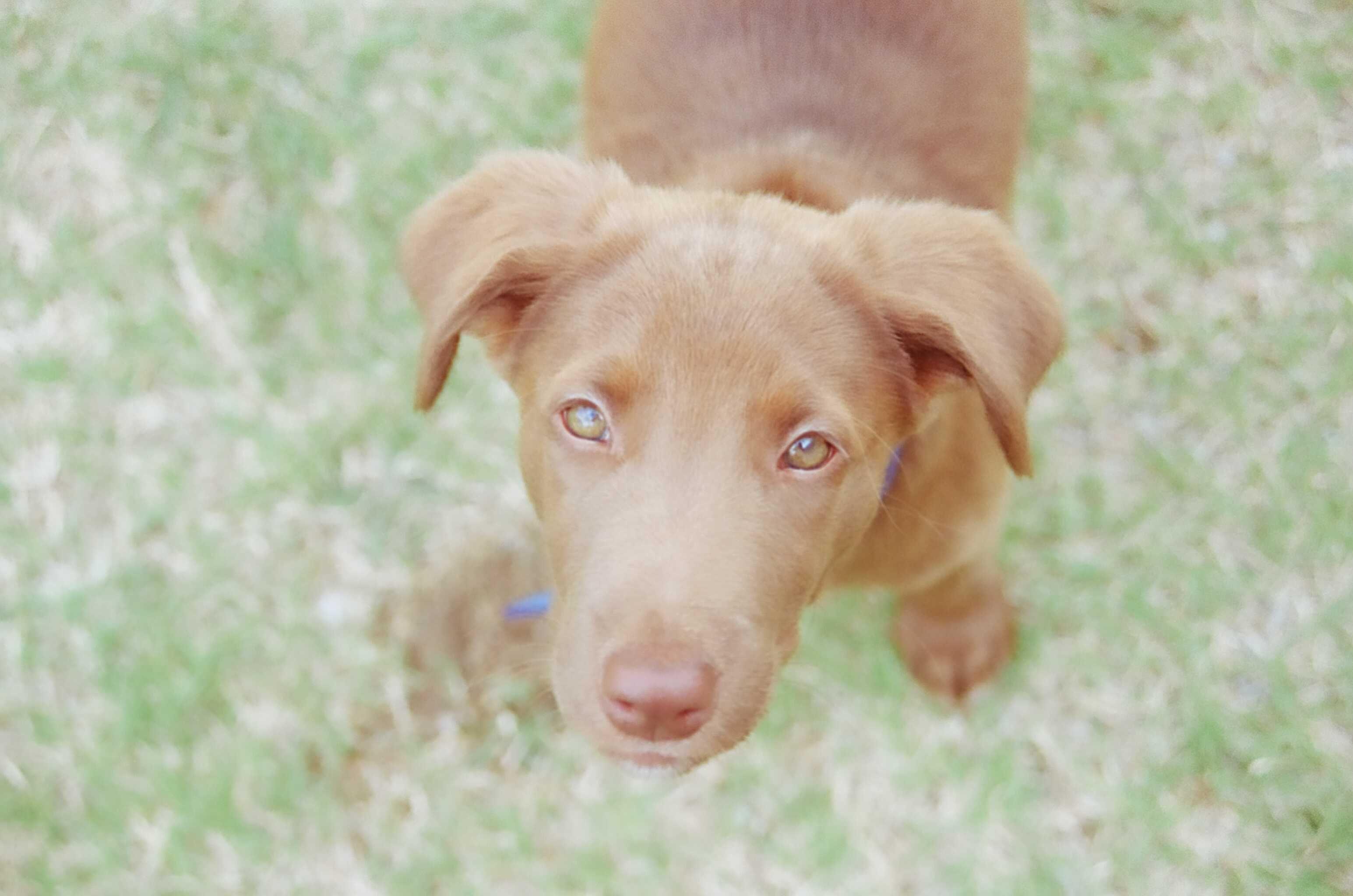 Weimador Weimaraner Labrador Mix