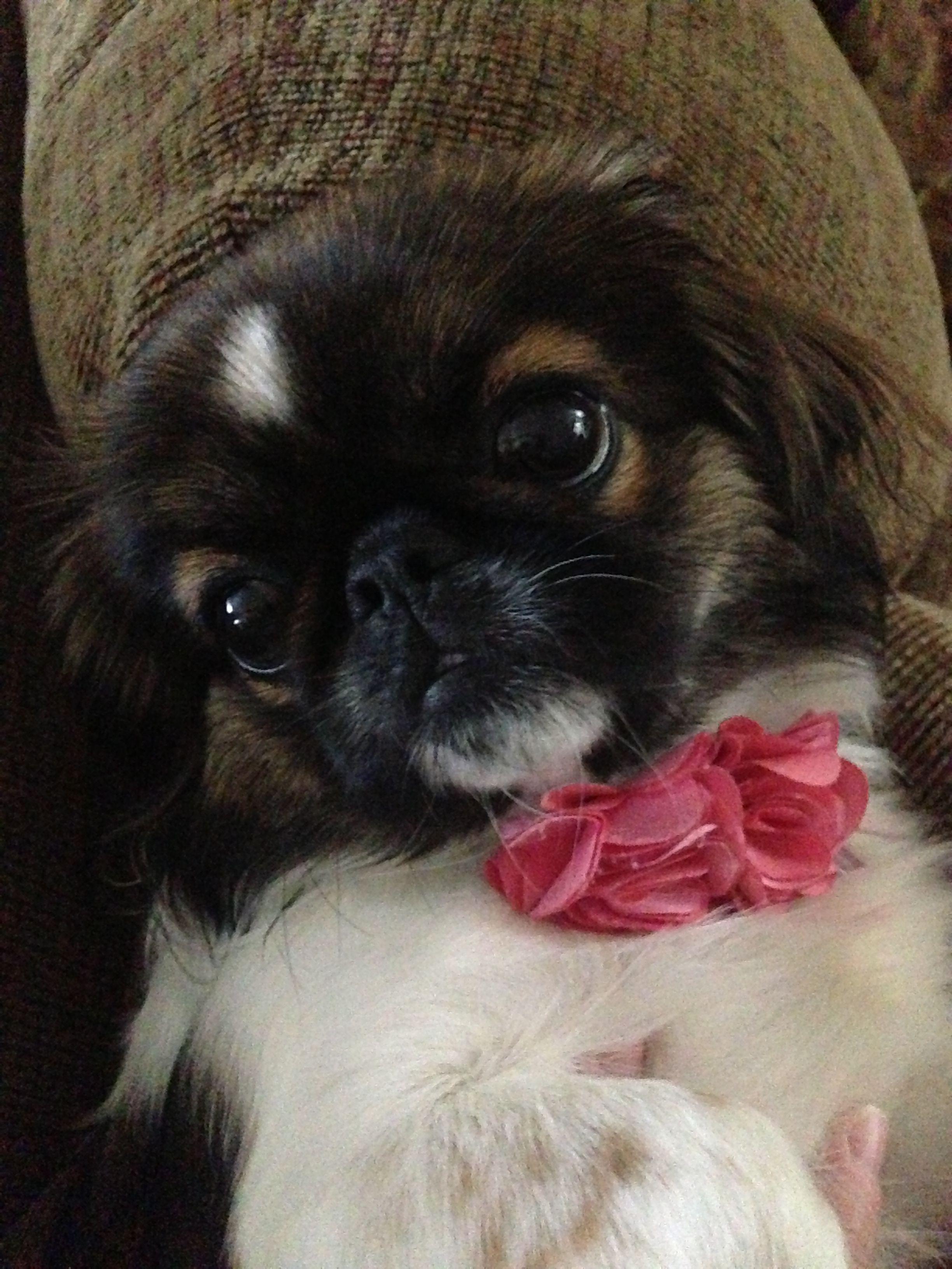 Pekingese puppy!