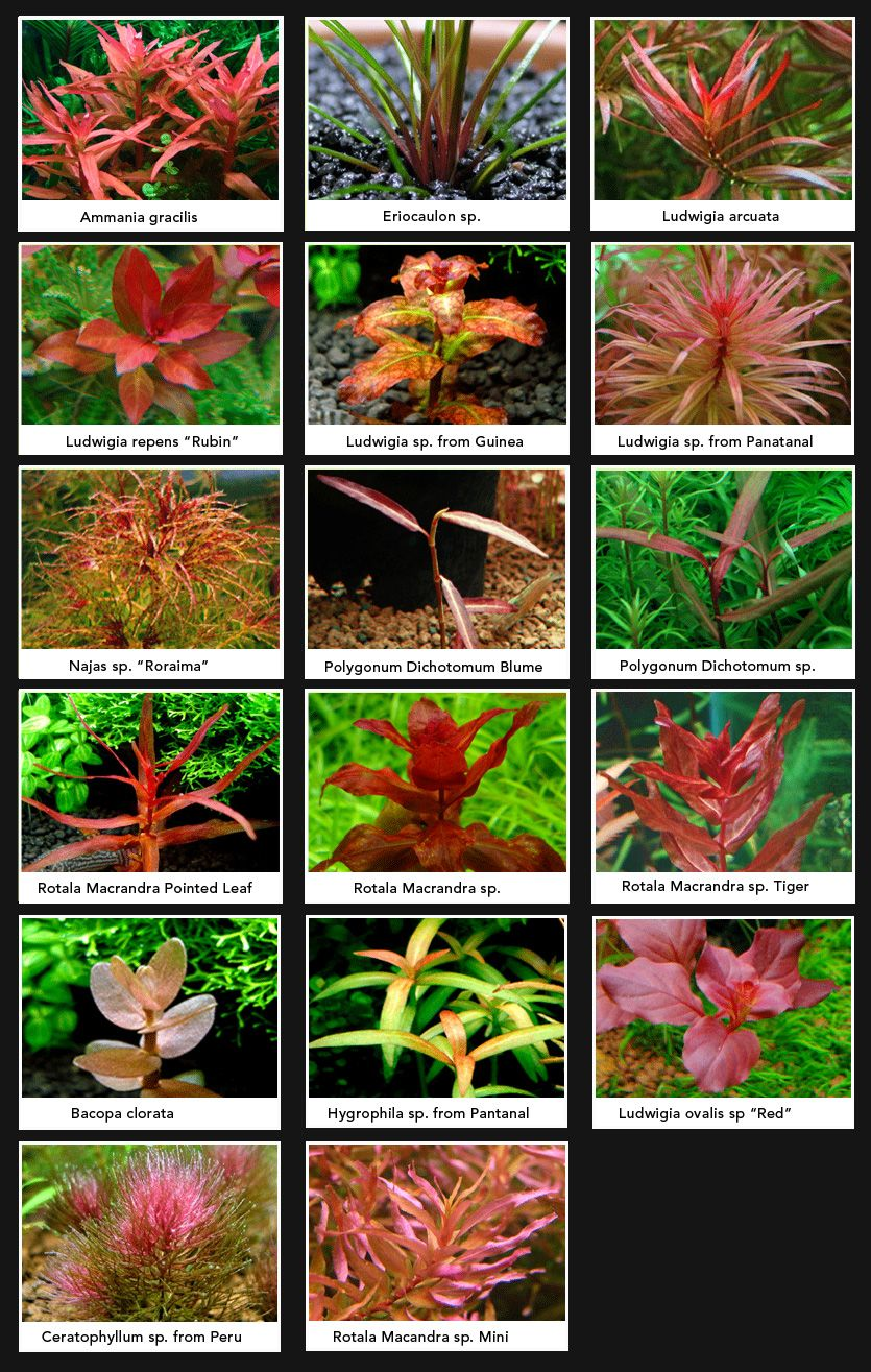 Superb Red Aquarium Plants