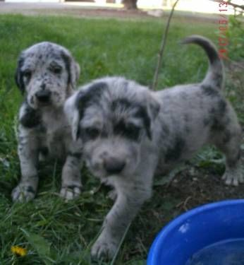 Great Doodles Great Dane X Standard Poodle Possibly Some Of The