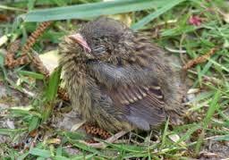 Image result for dunnock nest