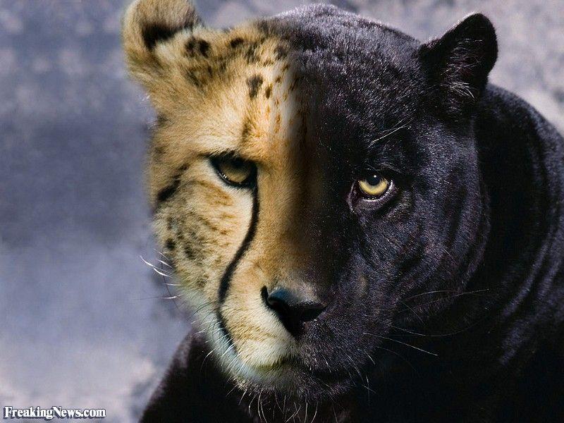 завораживает картинки пантера гепард зодчий расположил