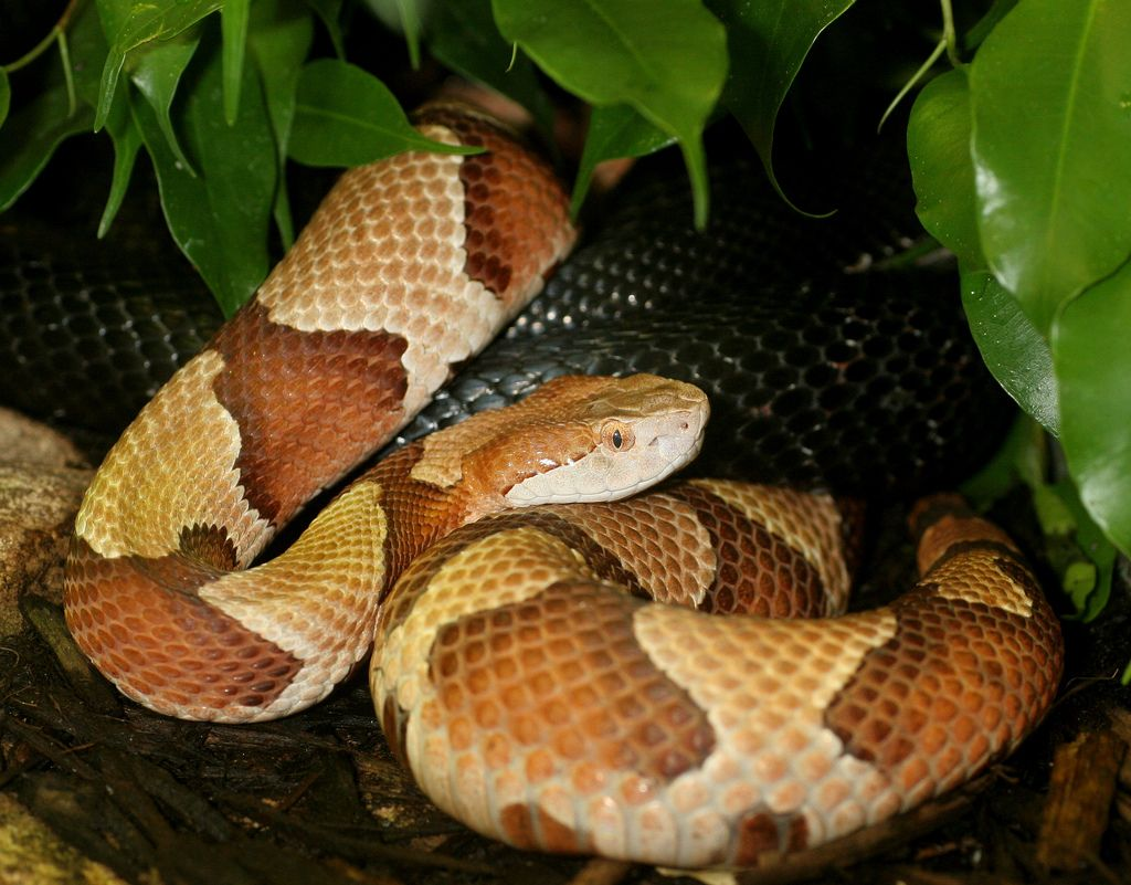 List Of Snakes Of Missouri Wikipedia The Free Encyclopedia Snake Reptiles Beautiful Snakes