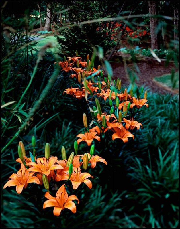 I Would Love To Have A Garden Full Of These Lillies Asian Tiger