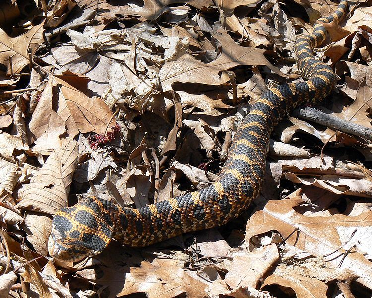 a hillbilly guide to snakes the southern copperhead