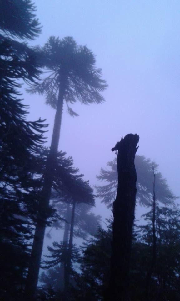 <<Sagrado Pehuén de la Niebla>> Parque Nacional Villarica, Febrero del 2016. Foto mía :3