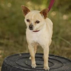 Adopt Grande On Adopt Me Please I Need Your Help Chihuahua