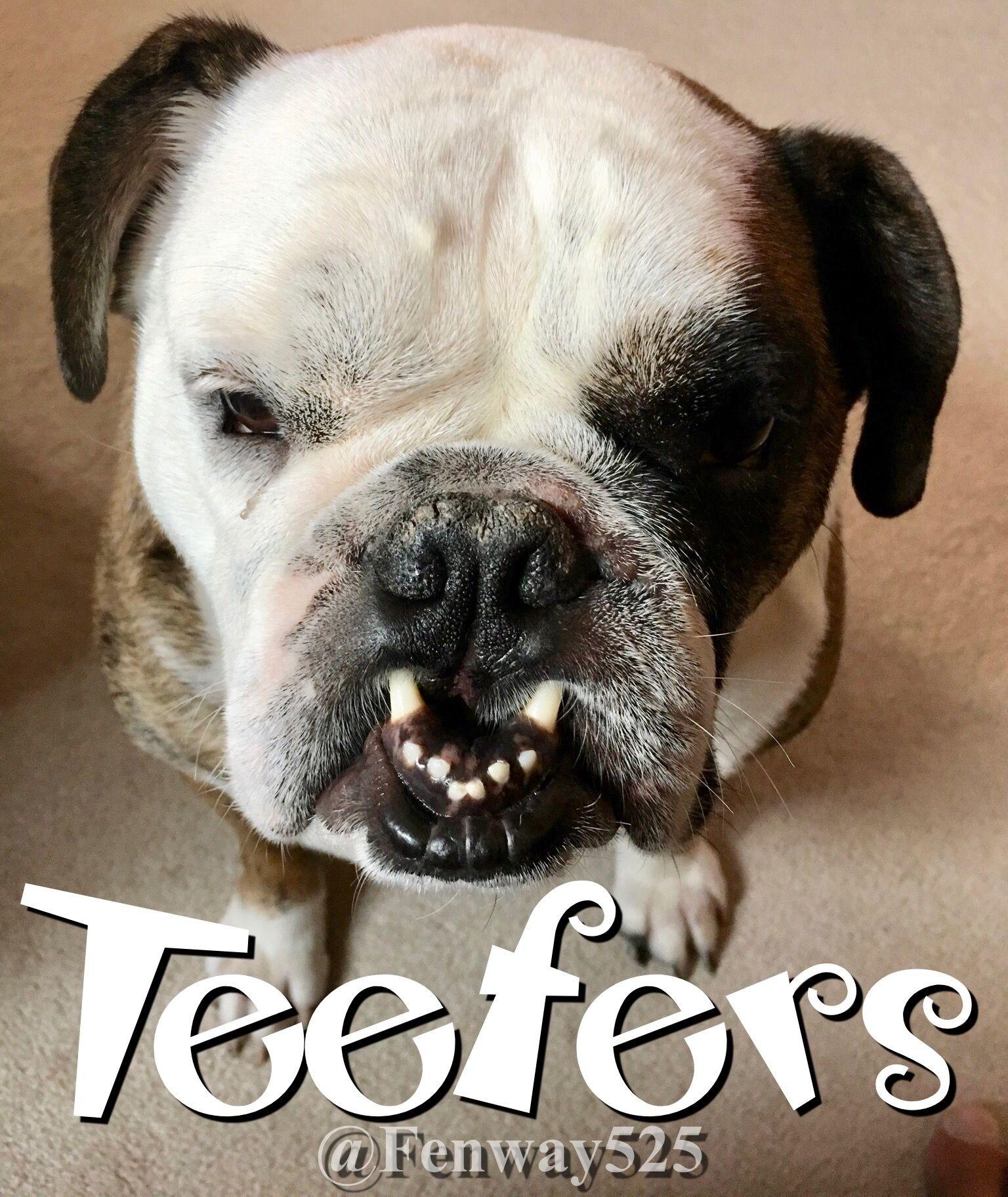 31Aug17 Fenway Bulldogs Teeth Orthodontics Bulldog