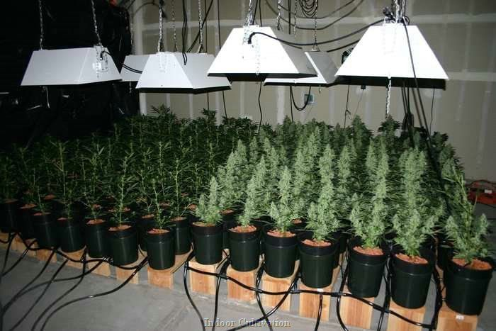 S O G  02 | Cannabis | Weed plants, Marijuana plants