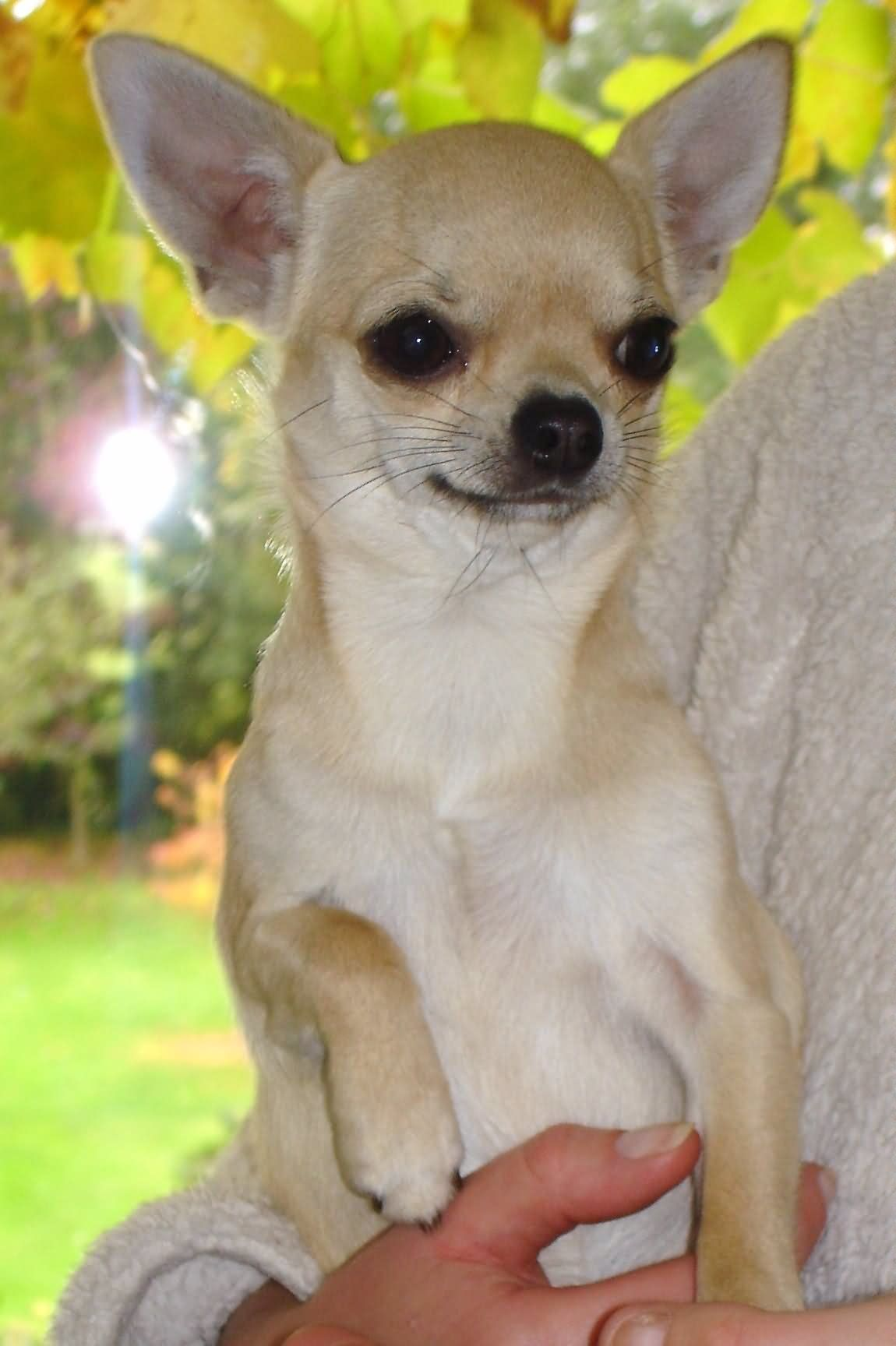Healthy Pets Have No Body Odor Chihuahua Dogs Dog Breeds Cute Chihuahua