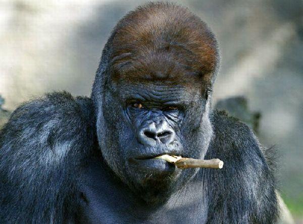 monkeys funny silverback gorilla gorilla