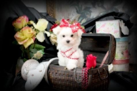 Yorkiebabiescom Teacup Maltese Puppies Maltese For Sale In Florida