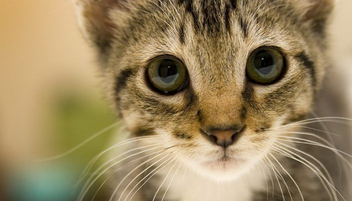 Is Your Cat Making You Mentally Ill Why Do Cats Purr Feline Distemper Cat Purr