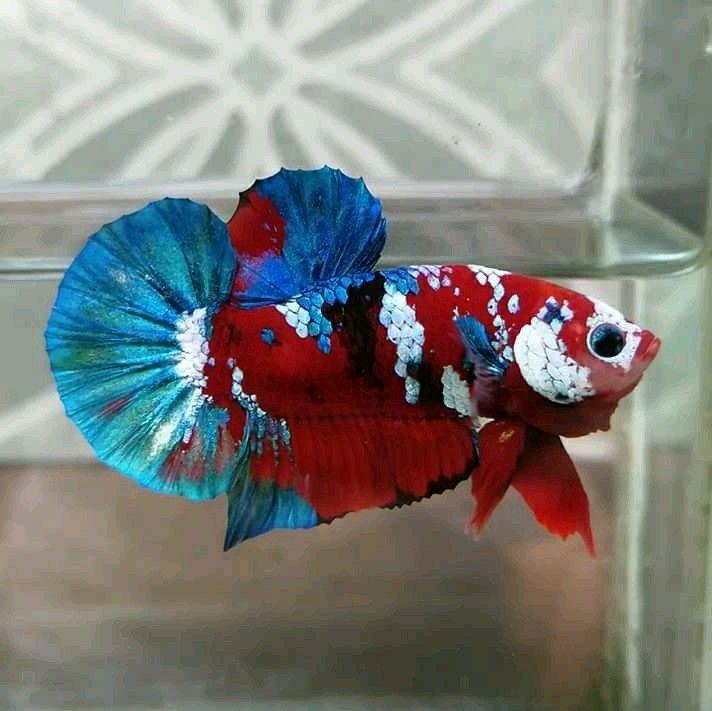 Red Koi Galaxy Ikan Cupang Ikan Gambar