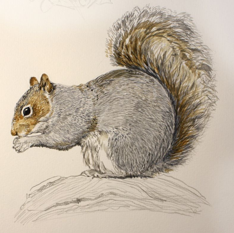 Sketching in Nature: Eastern gray squirrel - Sciurus ...