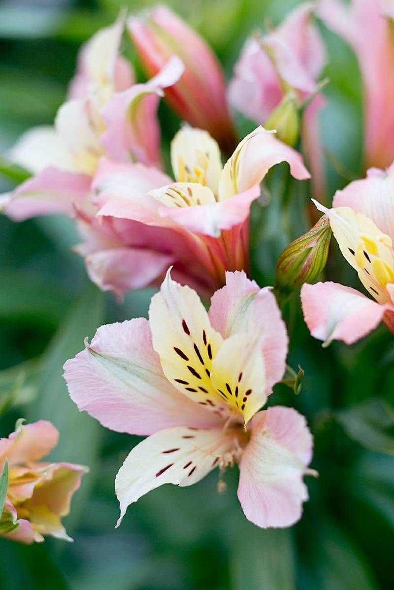 12 best flowers to grow for cutting peruvian lilies flowers and peruvian lily alstroemeria izmirmasajfo