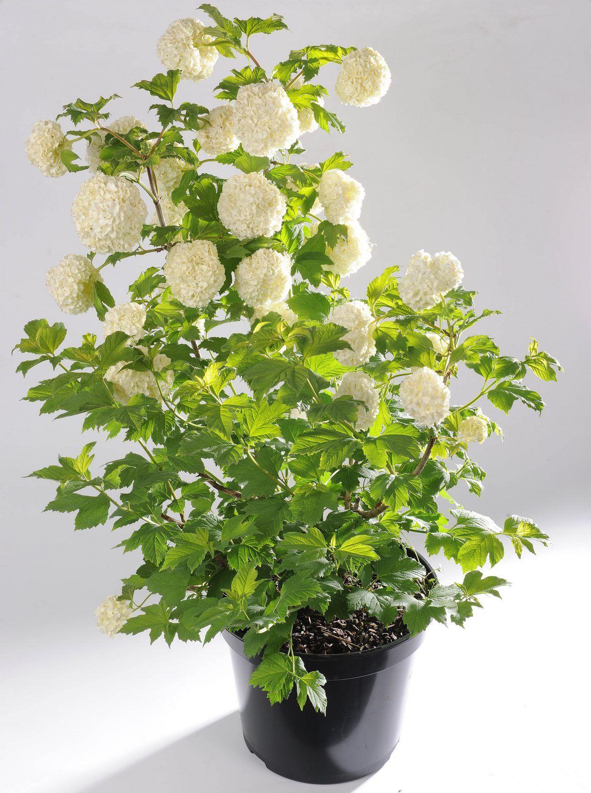 Viorne Boule De Neige Ou Viburnum Tinus Roseum Arbuste Rustique