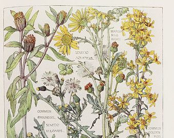 1910 Botanical Print by H. Isabel Adams: Daisy  Family, Common Golden Rod, Trifid Bur Marigold, Marsh Ragwort, Common Groundsel