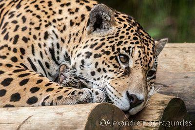 El Jaguar Es Perezoso Es Muy Bonito Animais Gramado E Brasil