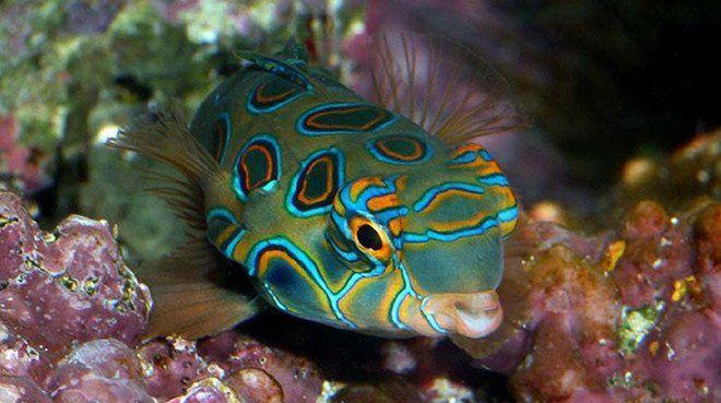 Buy Psychedelic Mandarinfish Online Saltwater Aquarium Fish And Coral Vivid Aquariums Saltwater Aquarium Fish Saltwater Aquarium Fish Pet