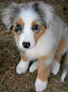 I Want This Puppy Australian Shepherd Husky Mix Aussie Puppies