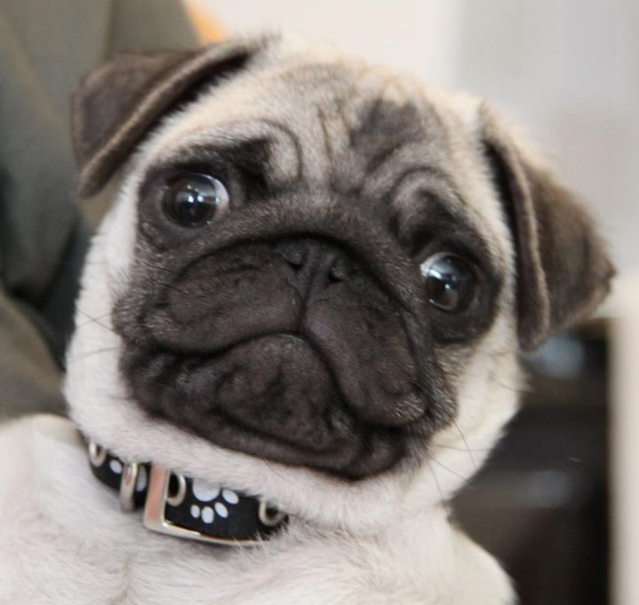 Love That Expression Cute Pugs Cute Pug Puppies Pugs