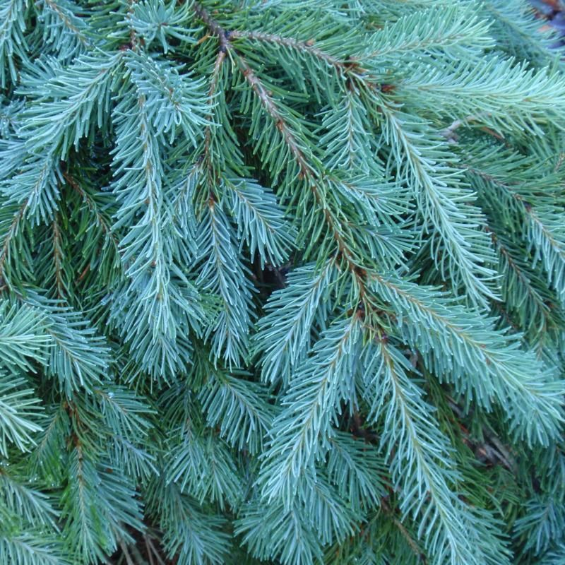 Types Of Fir Trees For Christmas: Details About Blue Douglas Fir, Pseudotsuga Menziesii