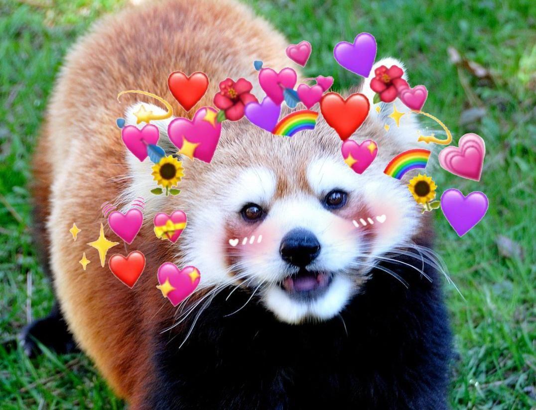 Please Follow Iloveredpandas I Made A Red Panda Profile Picture If Anyone Wants To Use It Redpanda Panda Cutebear Bear Fluffy Animals Red Panda Panda Bear