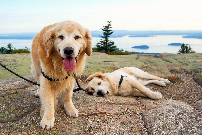 Joyful Jax Puppa Tavish On Instagram Maine S Happiest Golden Retriever Puppy Father Dog Heaven Dogs Golden Retriever Golden Retriever