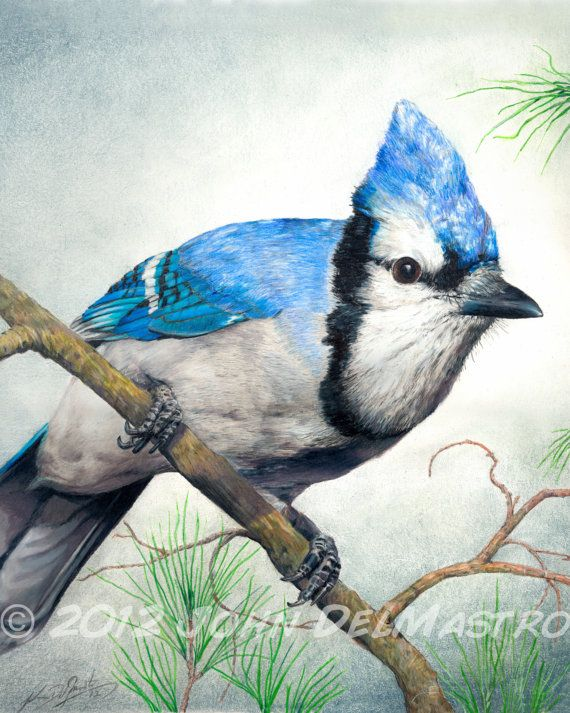 Color Pencil Drawing Blue Jay Bird Drawing 8 X 10 Fine Art
