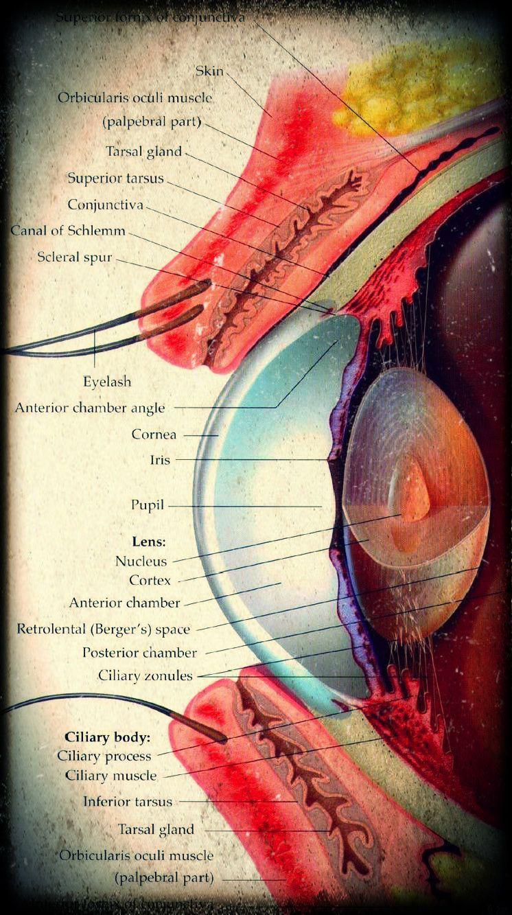 Eye Anatomy L\'Optique Optometry Rochester Hills, MI 248.656.5055 www ...