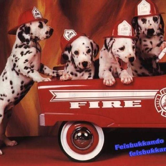 Baby Firefighter Dalmatians Dalmatian Puppy Love Pet Firefighter