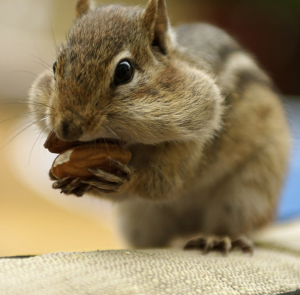 How To Get Rid Of Chipmunks And Save Your Garden Unless Their Names Are Alvin Simon And Theodore You Ve Pro Get Rid Of Chipmunks Garden Insects Garden Tours