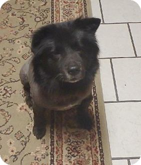 Wylie Tx Chow Chow Mix Meet Tinkerbelle A Dog For Adoption