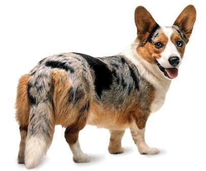 Cardigan Welsh Corgi Blue Merle With Tan Points Corgi Dog