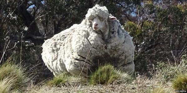 Chris le mouton inscrit au livre des records grâce à sa toison de plus de 41 kilos http://www.bfmtv.com//societe/chris-le-mouton-inscrit-au-livre-des-records-grace-a-sa-toison-de-plus-de-41-kilos-918856.html…
