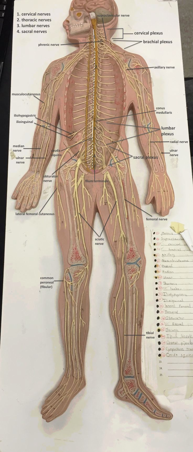 Spinal Nerves Labelled on LACC model | Anatomy/Physiology ...