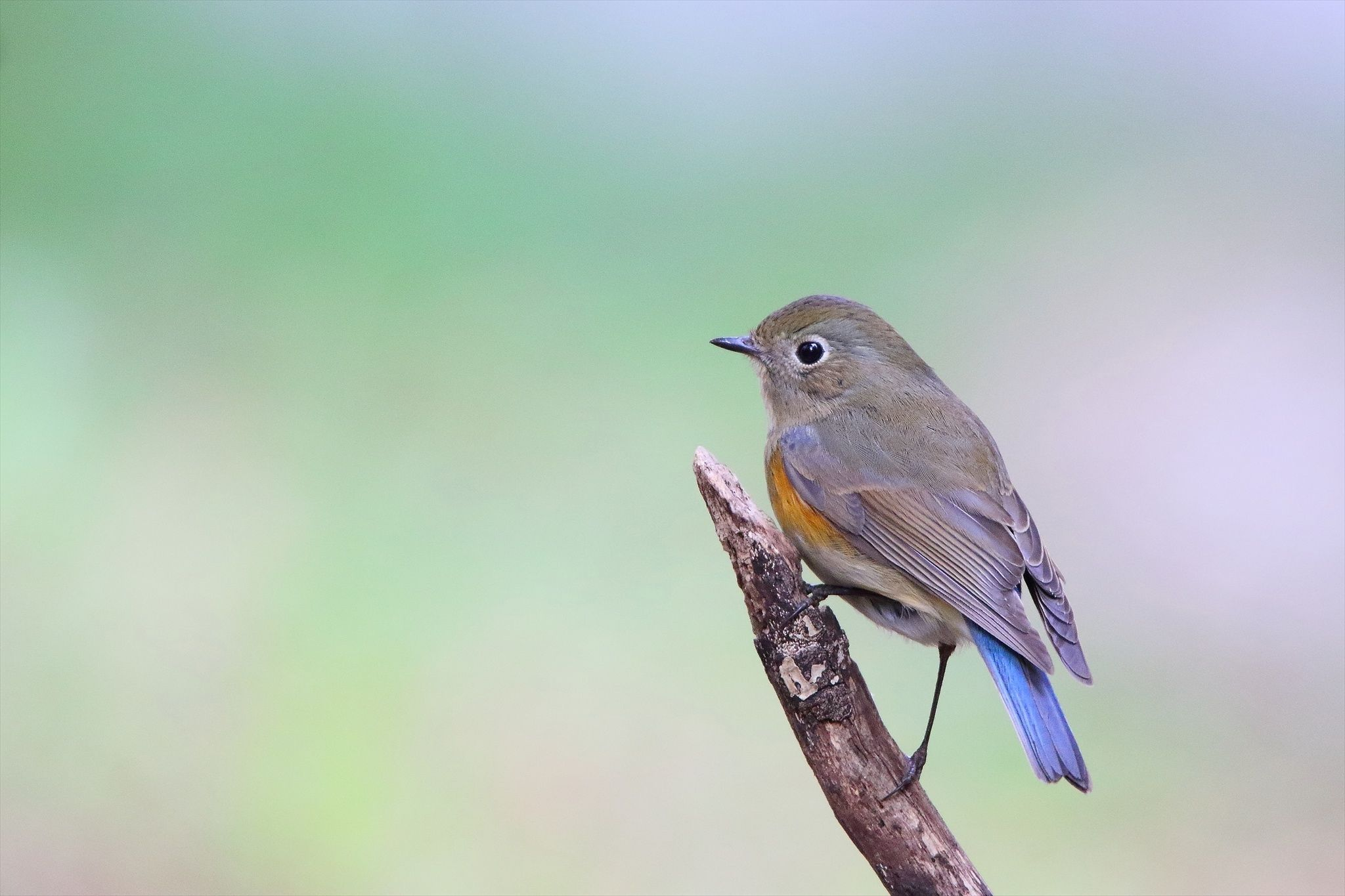 Red-flanked bluetail - Red-flanked bluetail,male young bird.