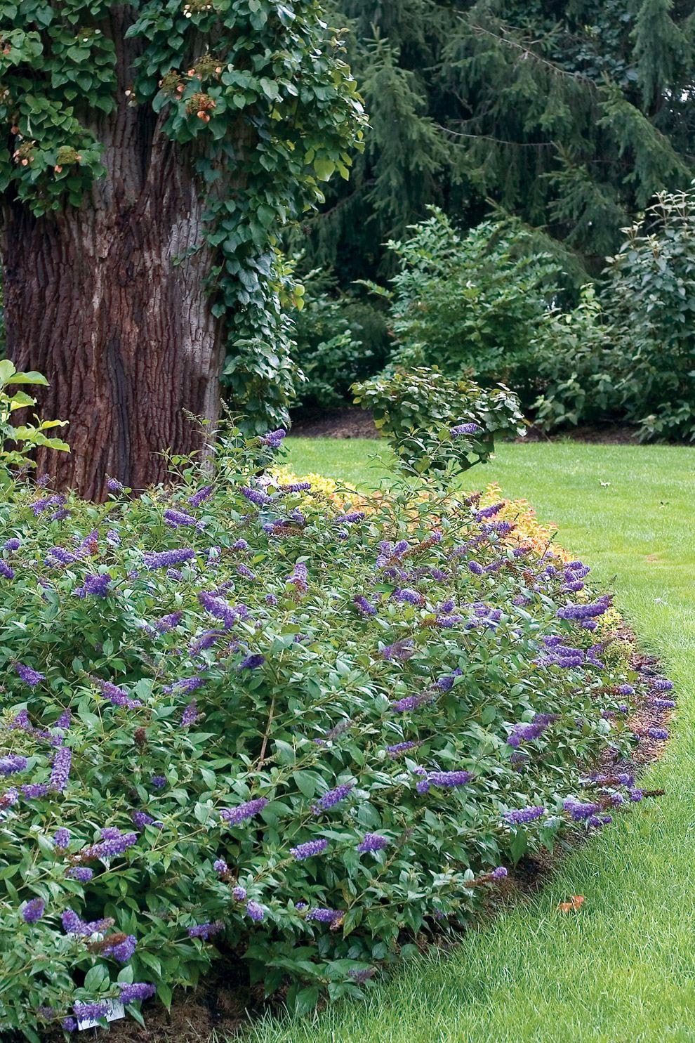Compact Plants Hydrangea Bobo Is An Adorable Dwarf 400 x 300
