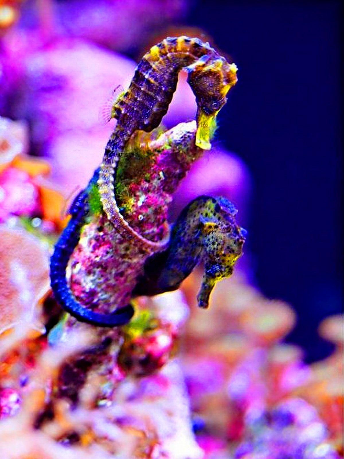 purple seahorse - HD1200×1600
