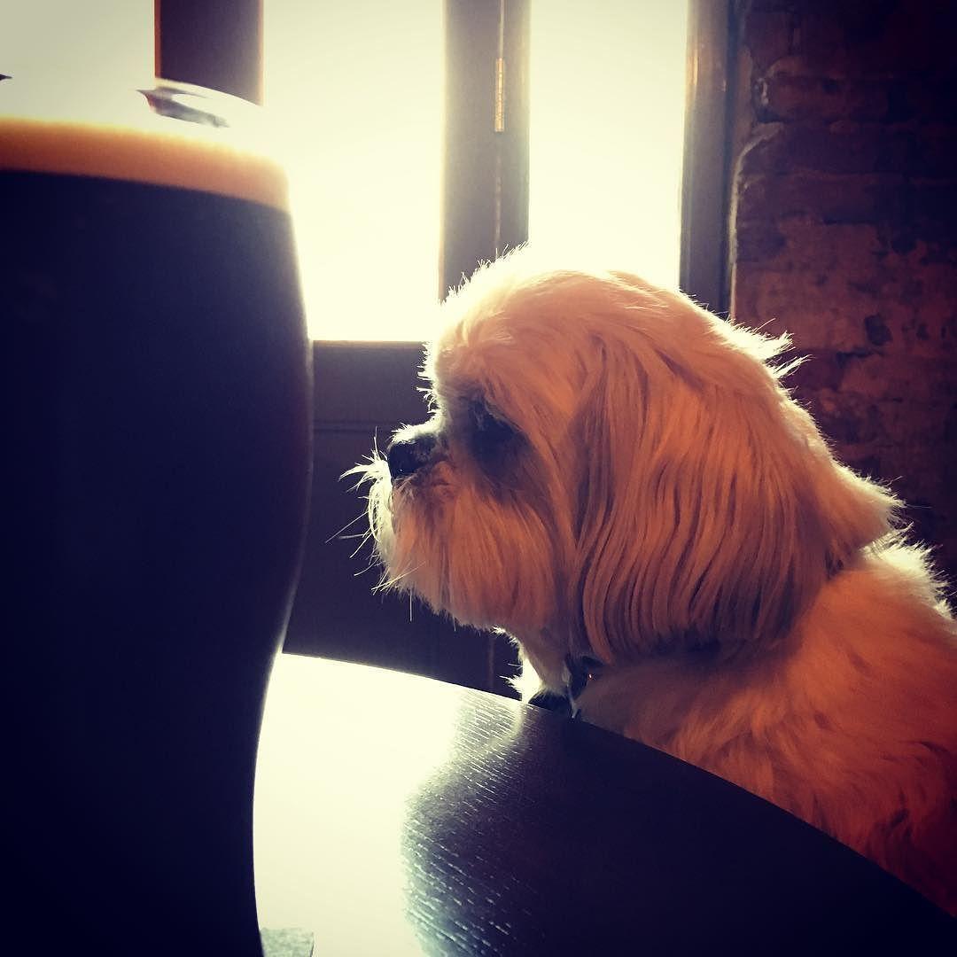 Real Ale! #Celebrating an exciting new venture #shihtzusofinstagram #alfietheangryshihtzu #realale #dogblog