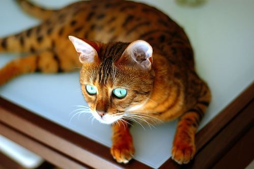 bengal kitty | Grey bengal cat, Cats, Cat with blue eyesOrange And White Bengal Cat