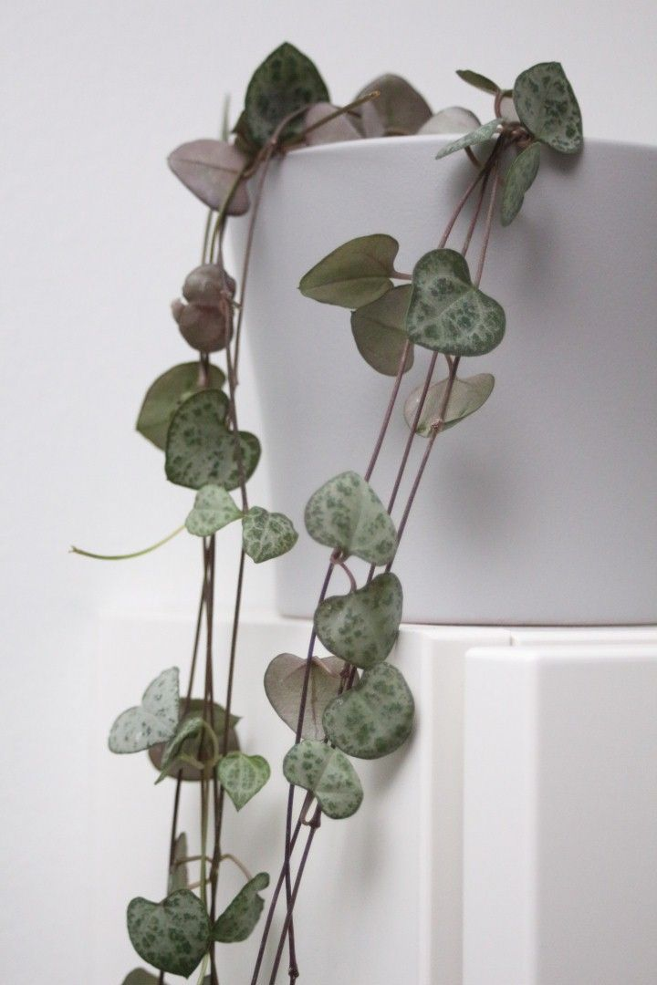Photo of Lieblingspflanze im Oktober // Leuchterblume – LENA BLUM
