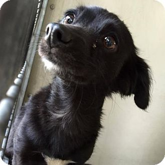 Pictures Of Cleopatra A Dachshund Pomeranian Mix For Adoption In