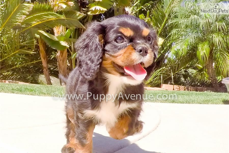 Cavalier King Charles Spaniel Puppy For Sale Near San Diego California King Charles Cavalier Spaniel Puppy Cavalier King Charles Spaniel King Charles Spaniel